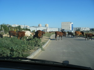 Ukraine Cattle Drive